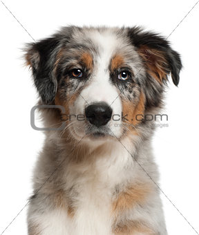 Portrait of Australian Shepherd, 5 months old, in front of white background