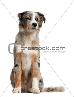 Australian Shepherd, 5 months old, sitting in front of white background
