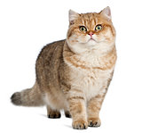 Golden shaded British shorthair, 7 months old, standing against white background