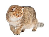 Golden shaded British shorthair, 7 months old, walking against white background