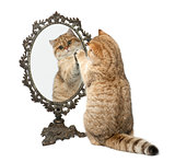 Golden shaded British shorthair, 7 months old, playing with mirror against white background
