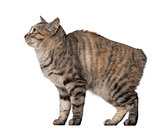 Side view of a Kurilian Bobtail, 1 year old against white background