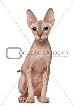 Portrait of Sphynx cat, 6 months old, sitting in front of white background