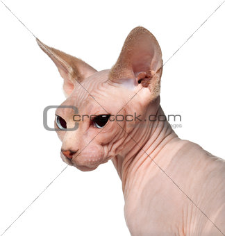 Close up of Sphynx cat, 6 months old, in front of white background