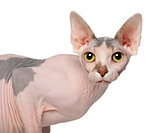 Portrait of Sphynx cat, 1 year old, in front of white background