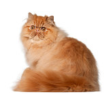 Portrait of Persian cat, 7 months old, sitting in front of white background