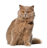 British Longhair sitting against white background