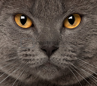 Portrait of Chartreux, 1 and a half years old