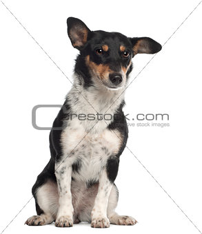 Portrait of crossbreed mixed with a Jack Russell Terrier, 10 months old, sitting in front of white background
