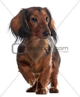 Dachshund, 10 months old, standing in front of white background