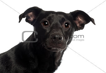 Portrait of Mixed-breed dog, 18 months old, in front of white background