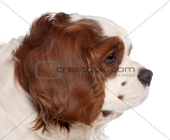 Close up of Cavalier King Charles Spaniel, 3 years old, in front of white background