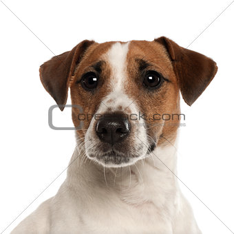 Portrait of Jack Russell Terrier, 1 year old, in front of white background