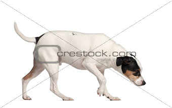Crossbreed with a Jack Russell Terrier, 3 years old, in front of white background