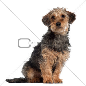 Portrait of Dachshund, 10 months old, sitting in front of white background