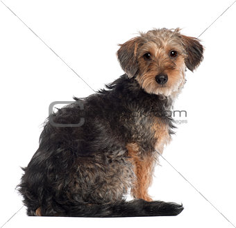 Portrait of Dachshund, 10 months old, in front of white background