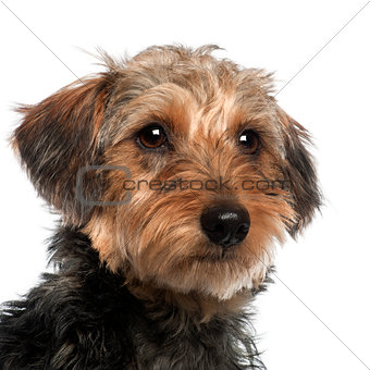 Close up of Dachshund, 10 months old, in front of white background