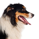 Close up of Australian Shepherd, 1 year old, in front of white background