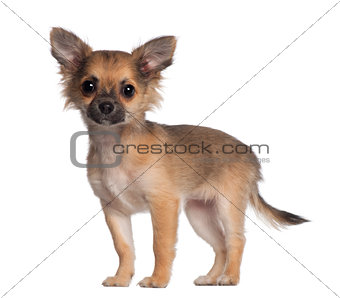 Portrait of Chihuahua, 3 and a half months old, standing in front of white background