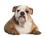 Portrait of English Bulldog, 7 months old, in front of white background