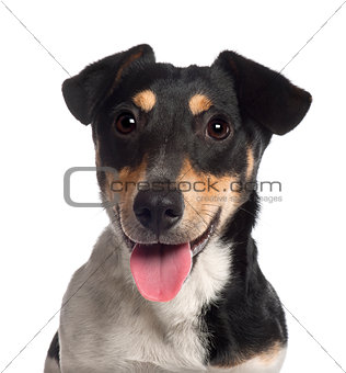 Portrait of Jack Russell Terrier, 7 months old, in front of white background