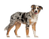 Portrait of Australian Shepherd, 5 and a half months old, standing in front of white background