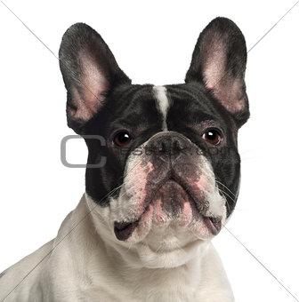 Portrait of French Bulldog, 2 years old, in front of white background