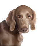 Portrait of Weimaraner, 8 months old, in front of white background