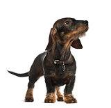 Dachshund, 8 months old, standing in front of white background