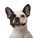 French Bulldog, 3 years old, against white background