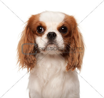 Cavalier King Charles Spaniel, 10 months old, against white background