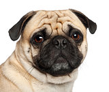 Pug, 3 years old, sitting against white background
