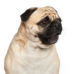 Pug, 3 years old, against white background