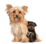 Female Yorkshire Terrier and her puppy sitting against white background