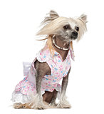 Chinese Crested Dog, 2 years old, sitting against white background