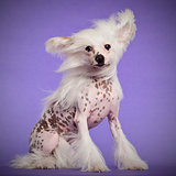 Chinese Crested Dog, 9 months old, sitting against purple background