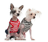 Chinese Crested Dogs, 10 and 18 months old, sitting against white background