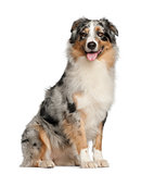 Australian Shepherd, 2 years old, sitting against white background