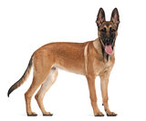 Belgian Shepherd Dog puppy, 5 months old, portrait against white background