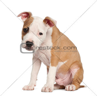 American Staffordshire Terrier puppy, 2 months old, sitting against white background