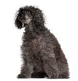 Old Poodle, 16 years old, sitting against white background