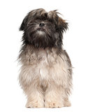 Lhasa apso standing against white background