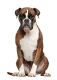 Boxer, 3 years old, sitting against white background