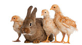 Chicks standing next to Rabbit against white background