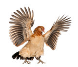 Hen flying against white background