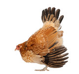 Hen in defensive posture against white background