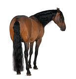Crossbreed horse against white background