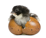 Marans chick, 15 hours old, standing in the egg from which he hatched out against white background