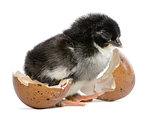 Marans chick, 15 hours old, standing next to the egg from which he hatched out against white background