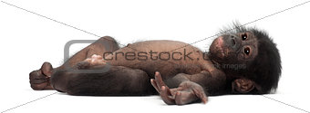 Baby bonobo, Pan paniscus, 4 months old, lying against white bac